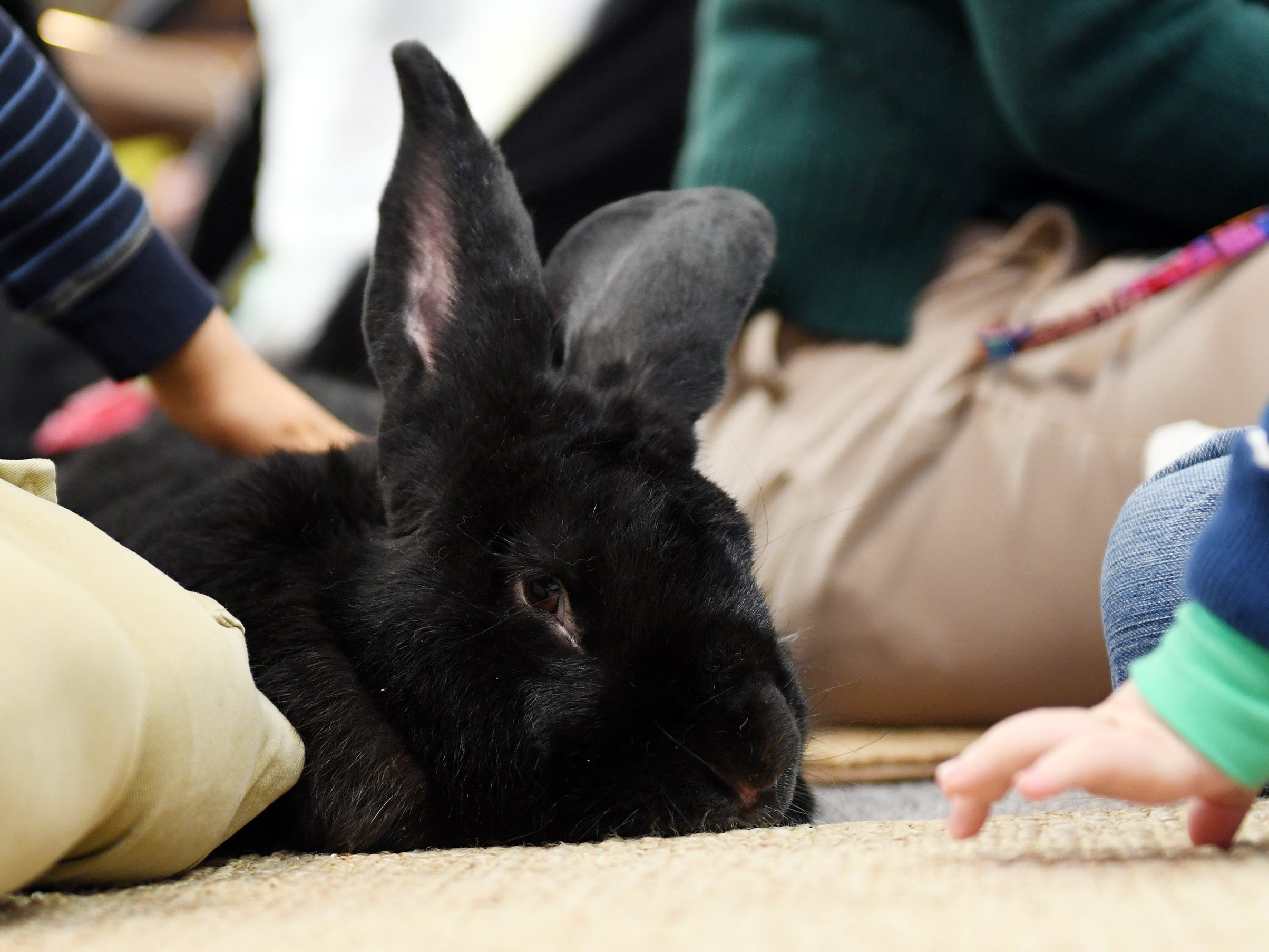 Kids interact with Hagrid, a Flemish Giant rabbit, during Zoobrary time at the Bridgeton Public Library on Thursday, December 20, 2018.
