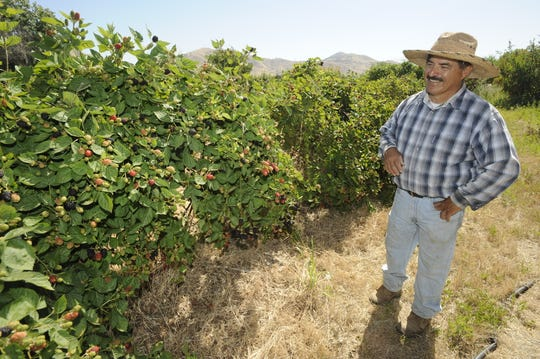Manuel Jimenez farms blackberries at Bravo Lakes Botanical Farm in Woodlake in this June, 2010 file photo.
