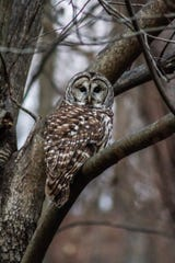 Louis Mason photographed this barred owl near White Clay Creek.