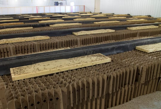 Enotomo farms uses cardboard dividers to house the nearly 100 million crickets they are raising at any given moment.