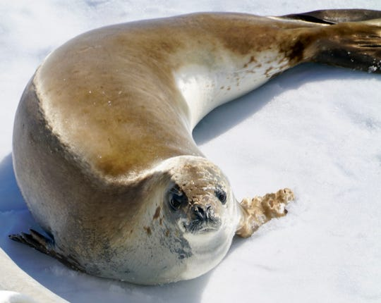 A crab eater seal basks in the afternoon sun on an ice floe in Antarctica.