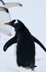 Its orange-red beak prominent against the snow, a Gentoo penguin walks with others in Antarctica.