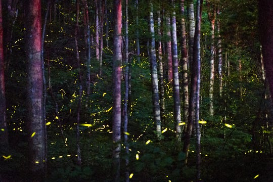 Synchronous fireflies light up the forest in Smoky Mountains National Park Jun. 7, 2018. 984 people from places as far as Alaska line a road at Elkmont Campground in Smoky Mountains National Park in Gatlinburg, Tennessee Thursday, June 7, 2018, to experience the synchronized flash patterns of the synchronous fireflies which peak during a two-week period in late May to mid-June. 1,800 parking permits were granted to some of the 22,000 people who entered the lottery. An estimated 800-1,000 people are expected at the campground each night.
