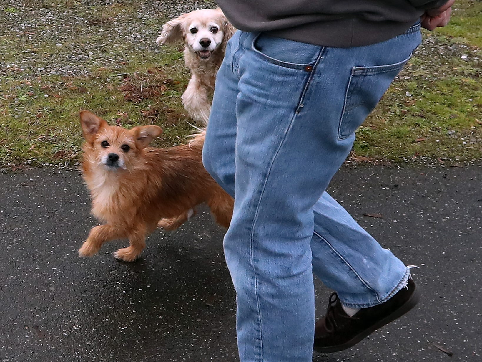 Dogs Spanky and Ladybug run around owner John O'Connor's feet as they head for the mailbox at their Port Orchard home on Thursday, December 20, 2018.
