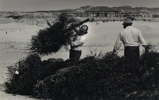 Johnny Salinas (left) and Sylvester Perez (right), two of Nueces County Commissioner J.P. Luby's workers, unload Christmas trees as part of the dune restoration efforts on Dec. 31, 1984.