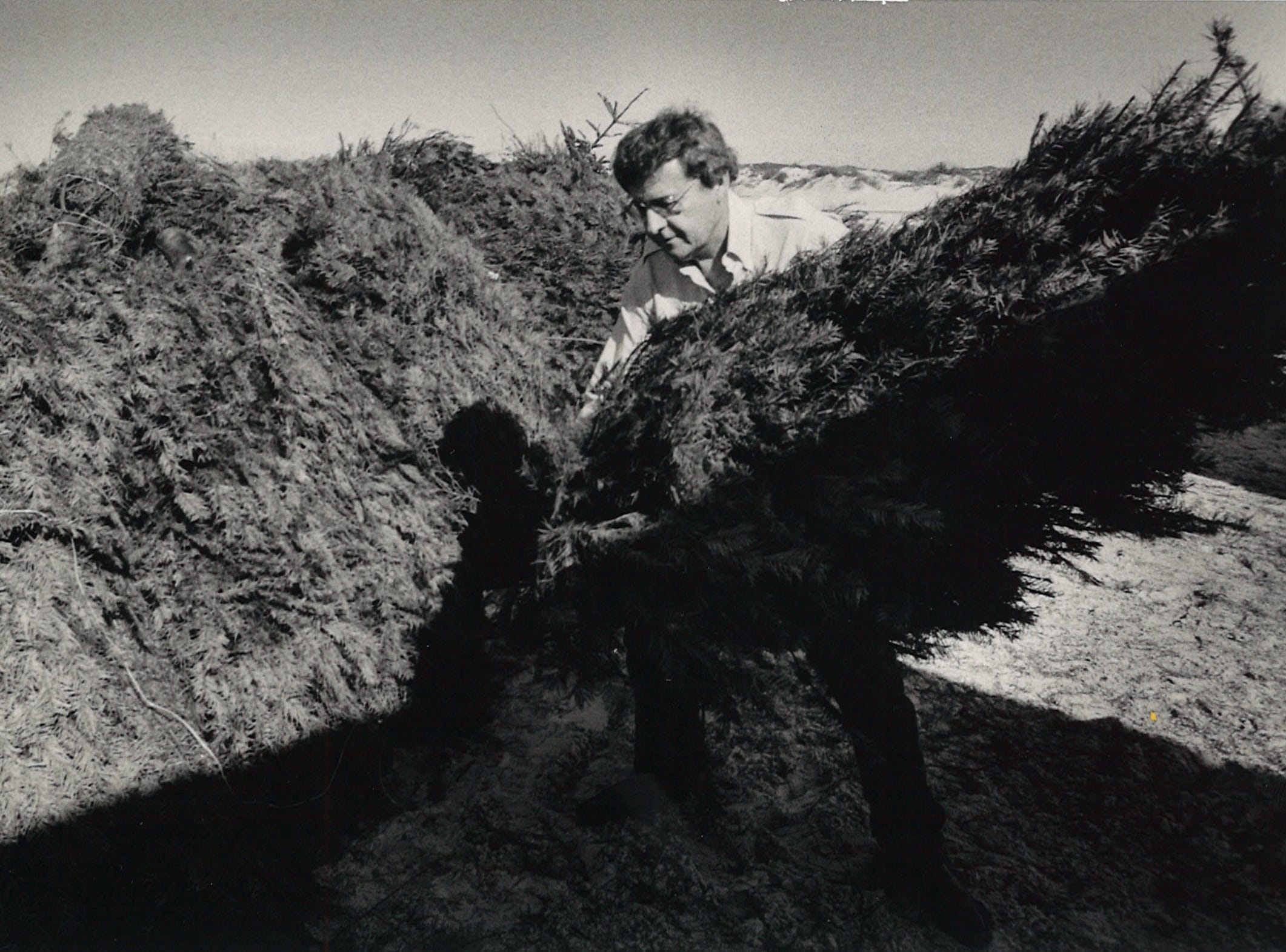 Nueces County Precinct 4 Commissioner J.P. Luby moves a Christmas tree as part of beach dune restoration Dec. 27, 1985.
