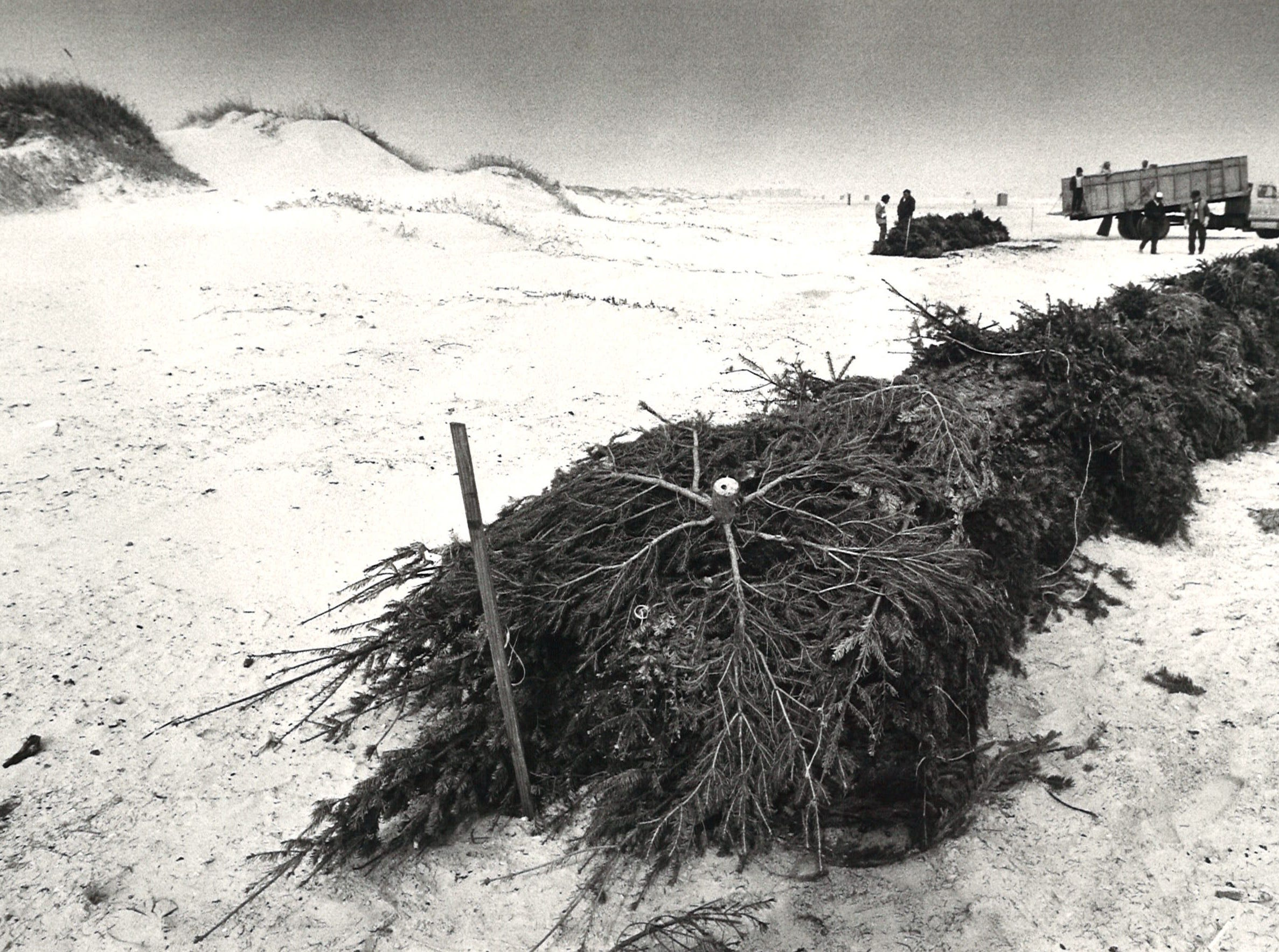 These Christmas trees form a line where new dunes can be established on Padre Island. Workers placed the trees as part of a Nueces County dune restoration effort on Jan. 3, 1983.