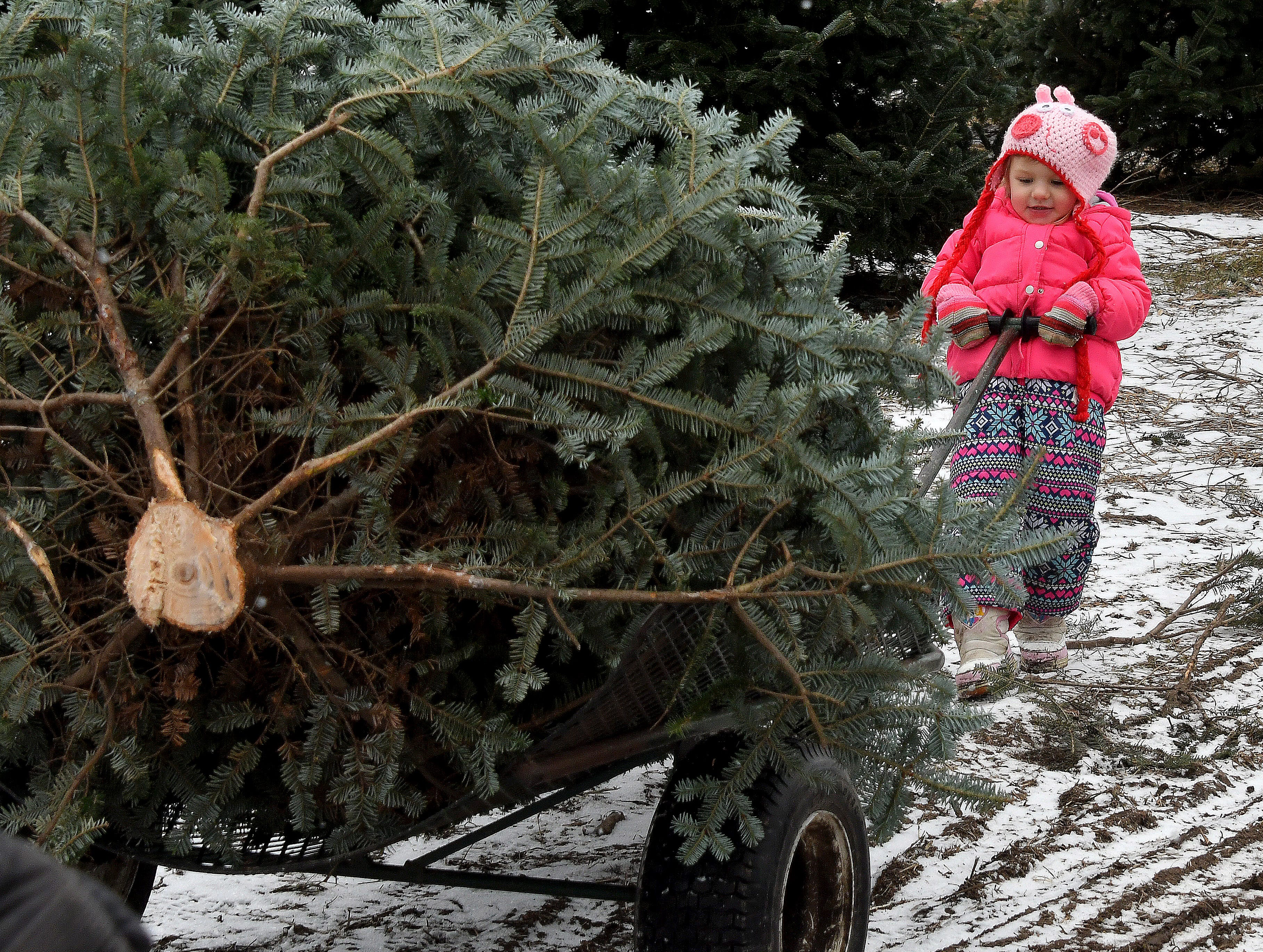 Dwarfed by the size of the family Christmas tree, four-year-old Laykin Schultz concentrates on pulling this prize out of the forest at the Kluck family Christmas tree farm and nursery near Saginaw.  The Klucks have been selling cut-your-own Christmas trees for four generations. They  run the second-largest operation in Michigan.