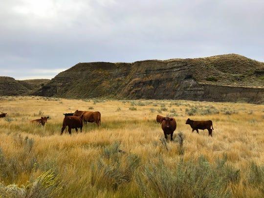 Cattle graze in the Missouri Breaks
