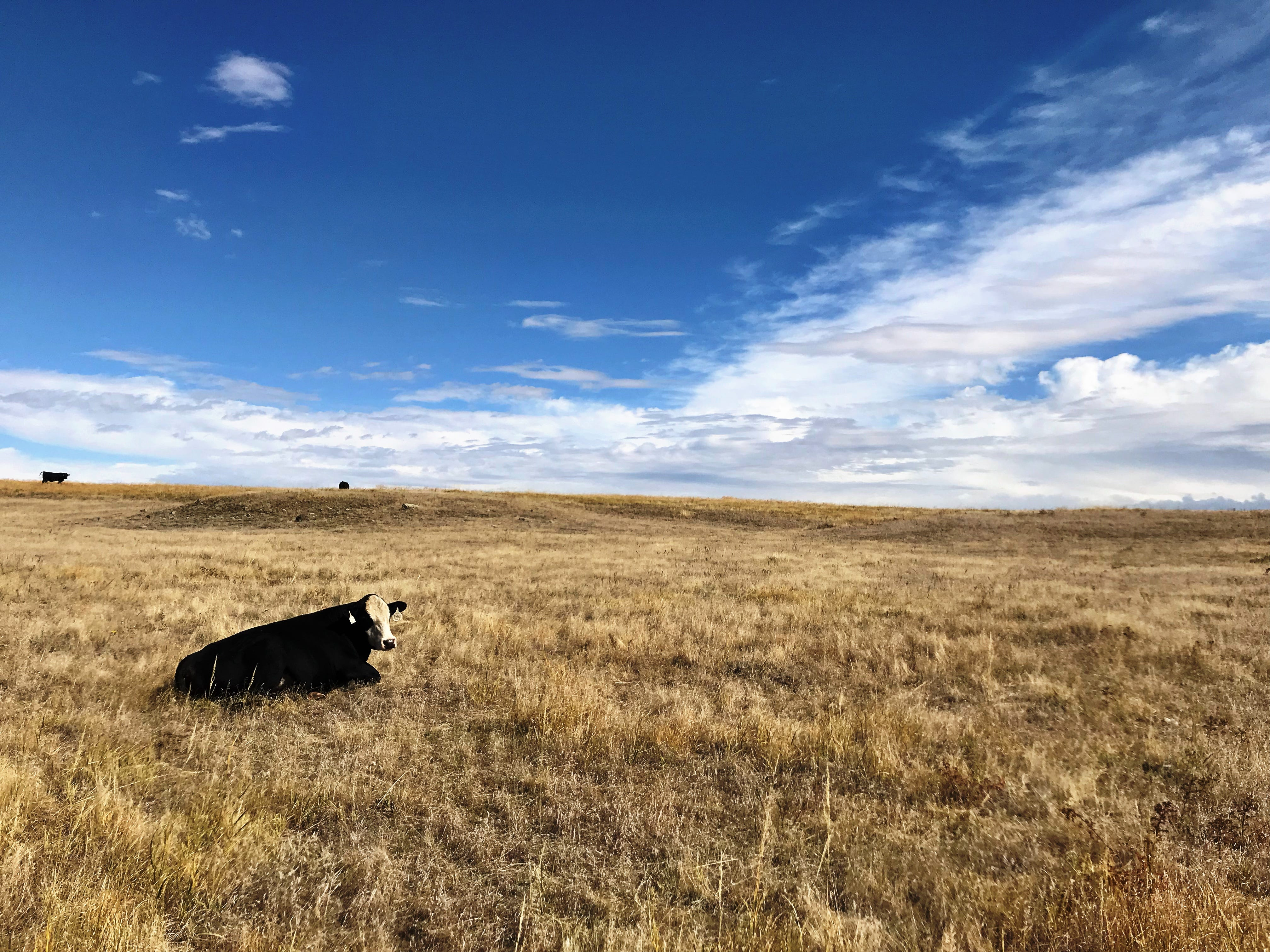 Cattle graze between Montague  and Shonkin