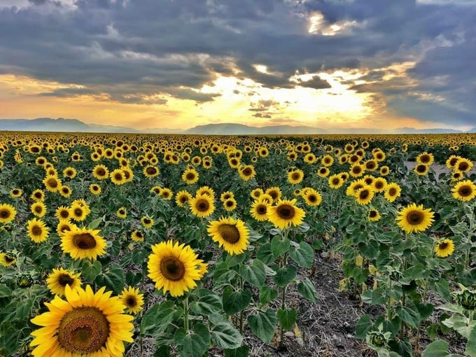 Sunflowers bloom near Augusta as the sun sets behind the Rocky Mountains
