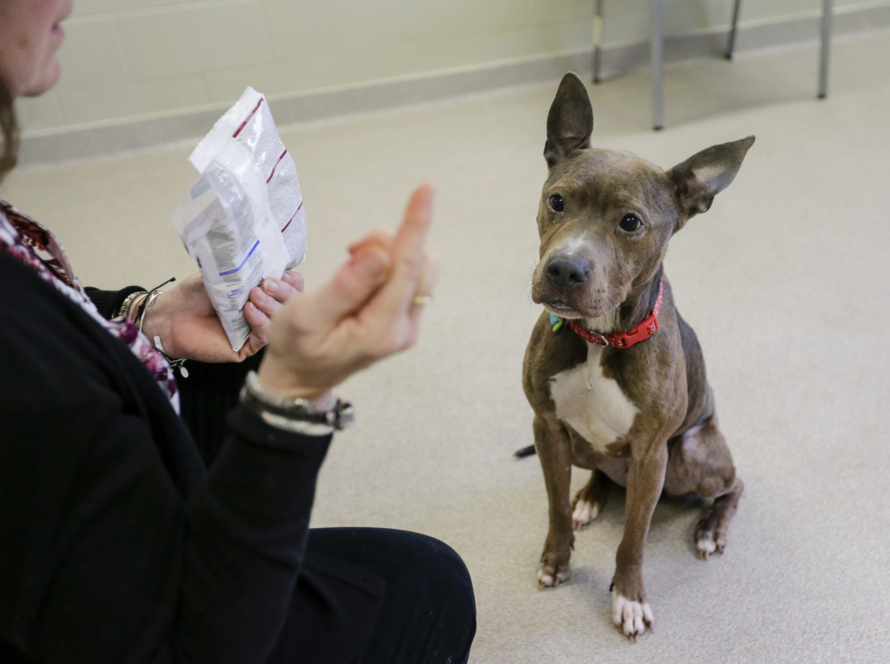 Helena waits patiently for a treat at the Lakeshore Humane Socitey Dec. 17 in Manitowoc. The pit mix was rescued after being found emaciated in a basement in the 1100 block of North Eighth Street.