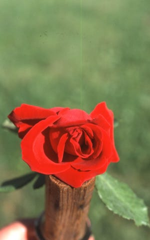 The last rose in the garden for the year is always special. More so if it is a red hybrid tea rose in late October.