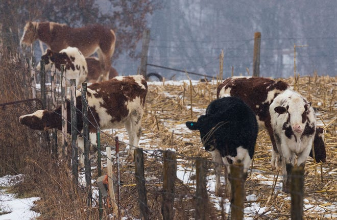 Cows stand in a picked corn field at an Amish farm near Cashton.