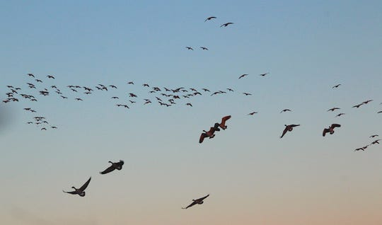 Flocks of Canada geese descend toward a decoy spread and hunters in a field west of Fond du Lac, Wisconsin.