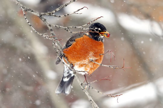A robin eats a berry in front of Morristown's First Baptist Church as the fourth nor'easter in three weeks hits New Jersey, bringing heavy snow and winds. Some areas of the northeast will see more than a foot and a half of snow before the storm is over.  March 21, 2018. Morristown, NJ.