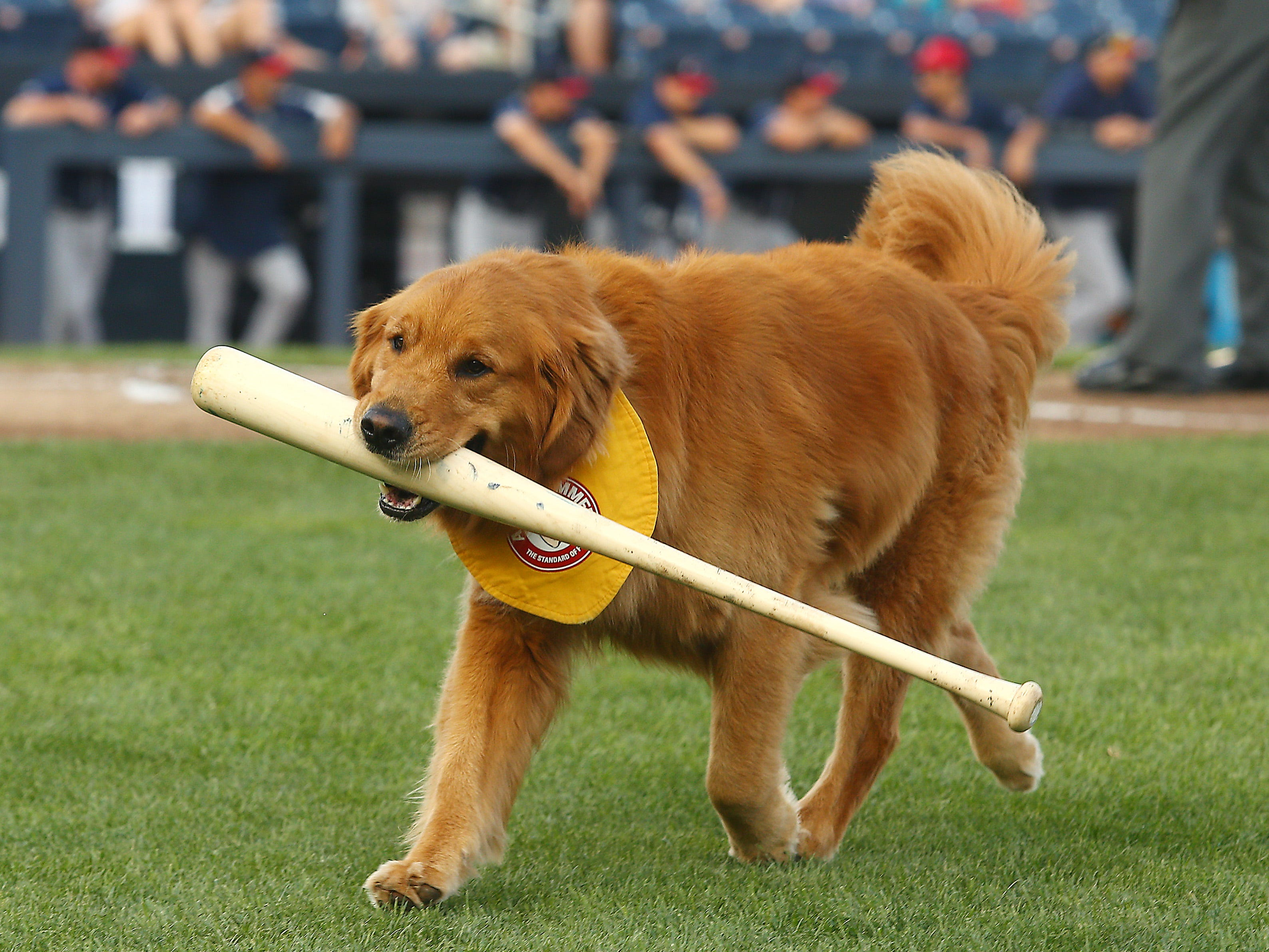 Trenton Thunder's third-generation bat dog Rookie, a 4-year-old Golden Retriever in action at ARM & HAMMER Park in Trenton. The Double-A affiliate of the Yankees have had a bat dog since 2002, Rookie keeping it in the family, taking after his grandfather, the Thunders original bat dog, Chase and his late father, Derby. July 2, 2018. Trenton, NJ