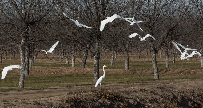 Great egret's fly from an irrigation canal into a pecan orchard off of Highway 28, Friday December 21, 2018.
