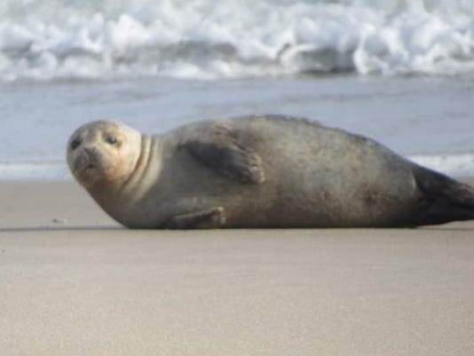 Seal On Key Box Road Beach 2