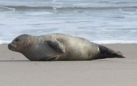Beach-goer Linda Wildasin spotted a harbor seal near Dewey Beach on Wednesday, Dec. 19.