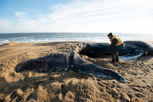 News Humpback Whale
