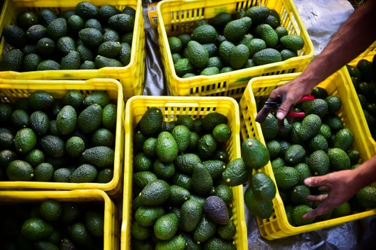 A farmer harvests avocados at an orchard in the municipality of Uruapan, Michoacan State, Mexico, on October 19, 2016.With the United States buying most of the Mexican avocado production and the domestic demand constantly growing, the price of avocados in Mexico is suffering frequent increases.