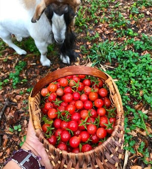 Fall in Florida means eggplant, zucchini and zillions of teeny-tiny Everglades tomatoes.