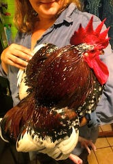 When the bantams give rooster Specque too hard a time, he went to live with the flock of my first-born, D.P.