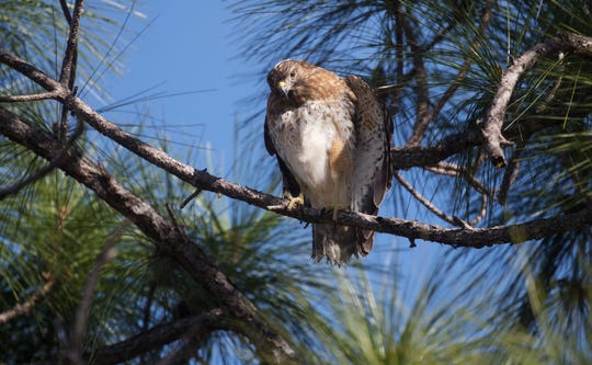 A red-shouldered hawk perches on a tree after being released back into the wild at the Florida Panther National Wildlife Refuge in Collier County on Saturday morning. The hawk, struck by a van on Interstate 75, was rescued from the grille of the vehicle and taken to the clinic.  The bird underwent surgeries and rehabilitation, spending almost three months at the clinic.