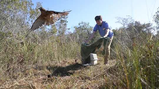 In this video image, Kyle Abbott , a veterinary intern with the Clinic for the Rehabilitation of Wildlife, releases a red-shouldered hawk back into the wild at the Florida Panther National Wildlife Refuge in Collier County on Saturday morning. The hawk, struck by a van on Interstate 75, was rescued from the grille of the vehicle and taken to the clinic.  The bird underwent surgeries and rehabilitation, spending almost three months at the clinic.