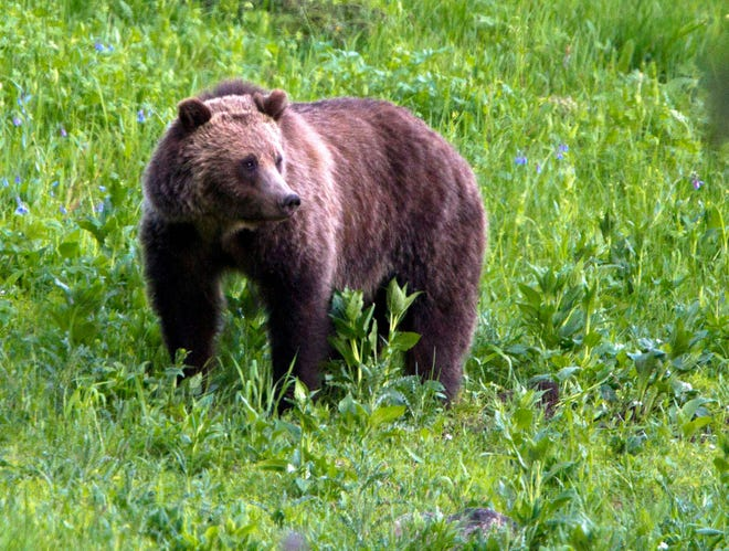The U.S. Fish and Wildlife Service is investigating the shooting of a grizzly bear in Montana near Augusta.
