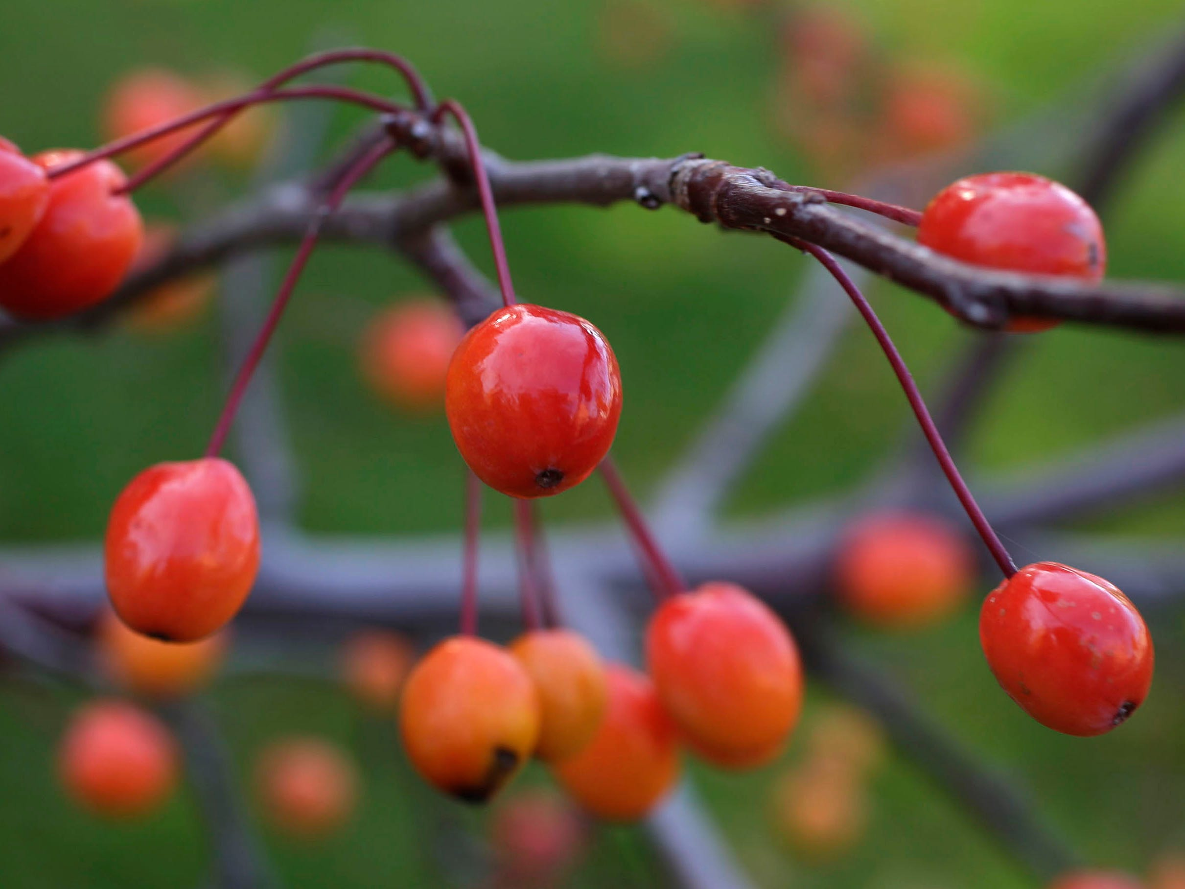 Tiny crab apples are the only things left on a branch of a flowering crab tree, Wednesday, October 31, 2018, in Sheboygan, Wis.
