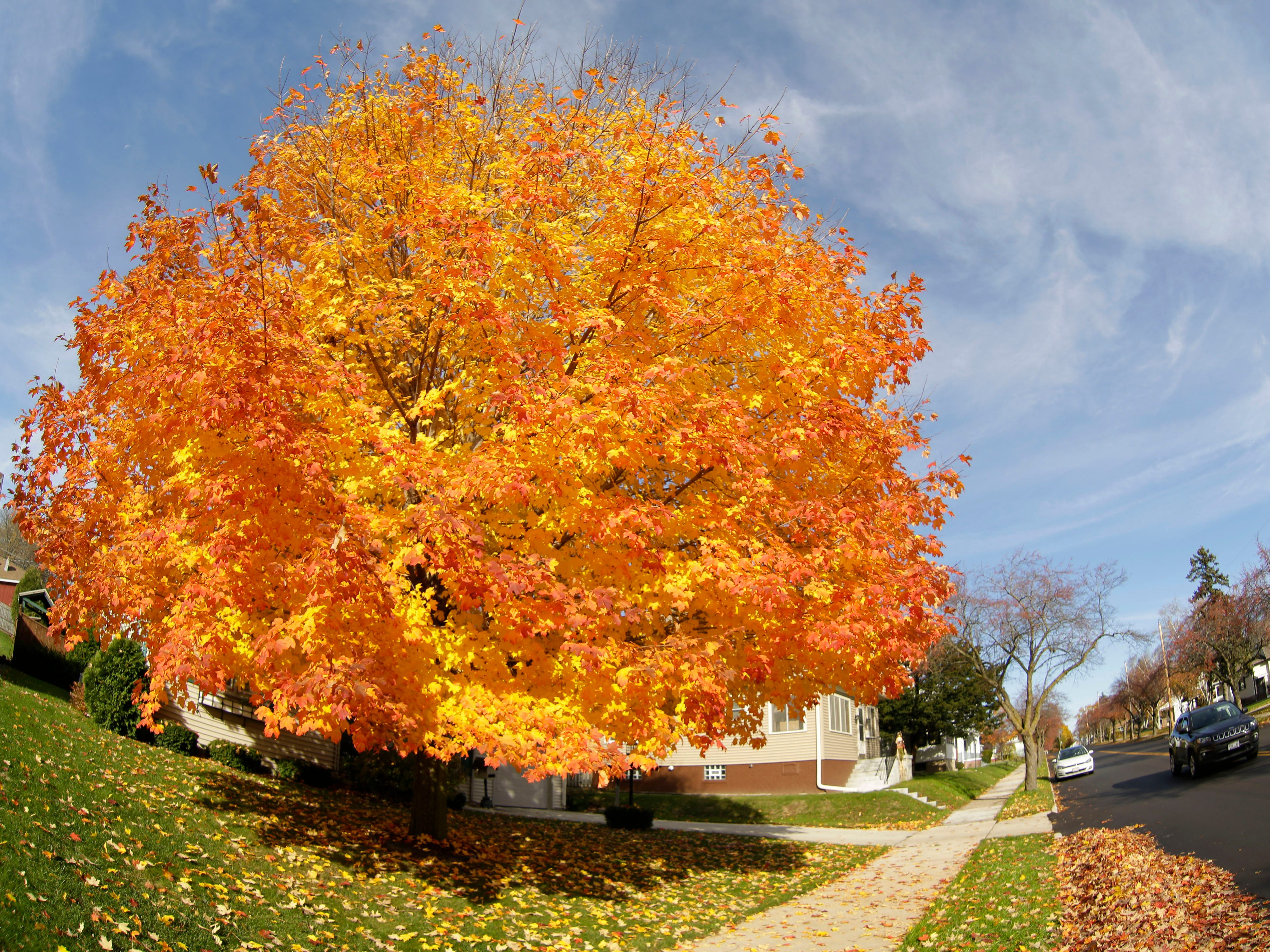 Vibrant fall color fills a maple tree along Evans Avenue, Wednesday, October 31, 2018, in Sheboygan, Wis.