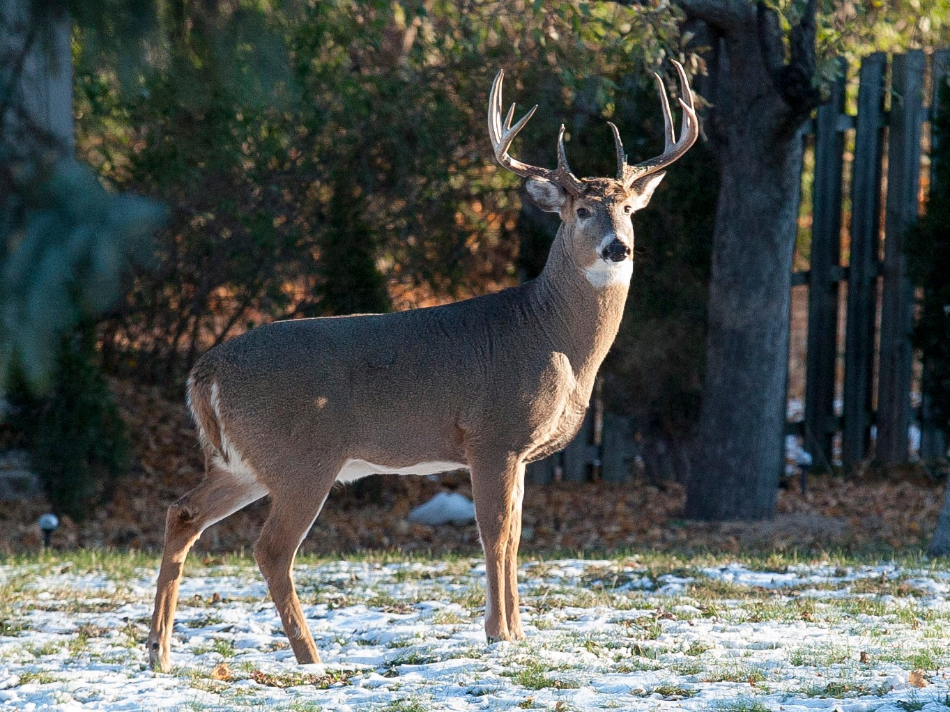 A buck scans the backyard of a City of Sheboygan home in the 1000 block of N. 23rd Street, Wednesday November 14, 2018, in Sheboygan, Wis.