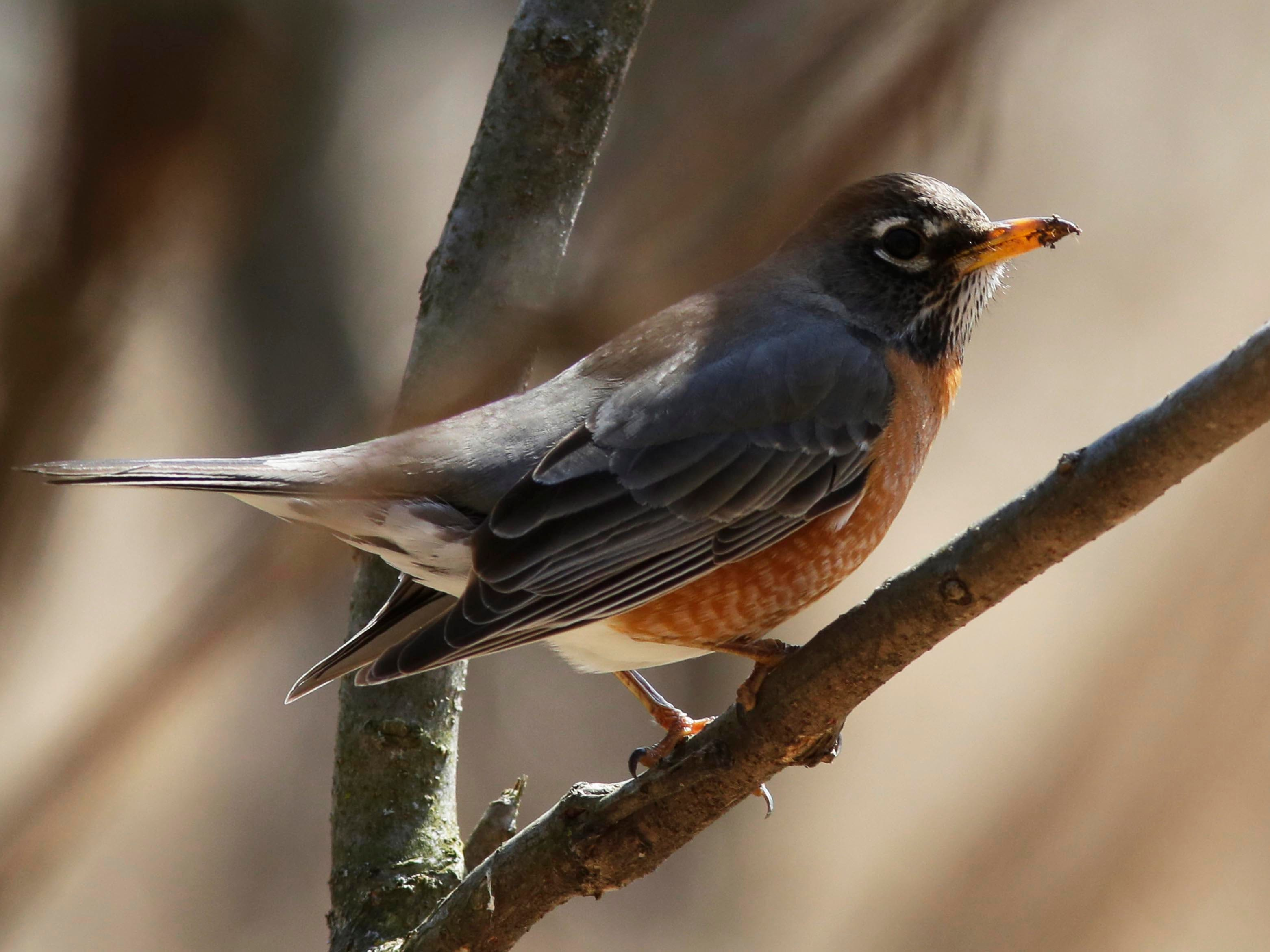 A robin watches from a branch at the Ellwood H. May Environmental Park, Wednesday, March 28, 2018, in Sheboygan, Wis.
