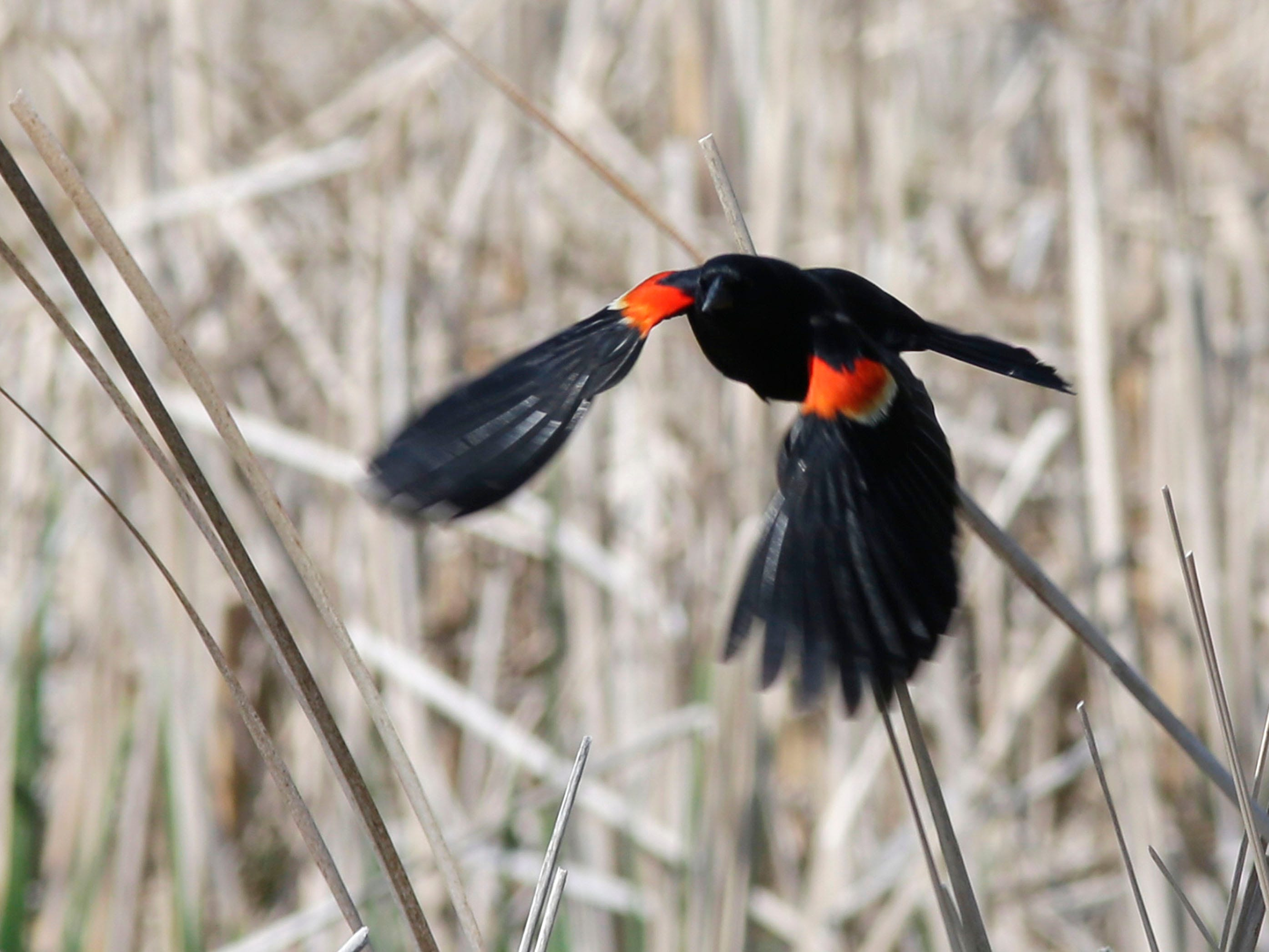 A red winged blackbird swoops near the edge of Broughton Marsh Park, Thursday, May 17, 2018, in Elkhart Lake, Wis.