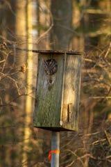 Eastern screech owl.