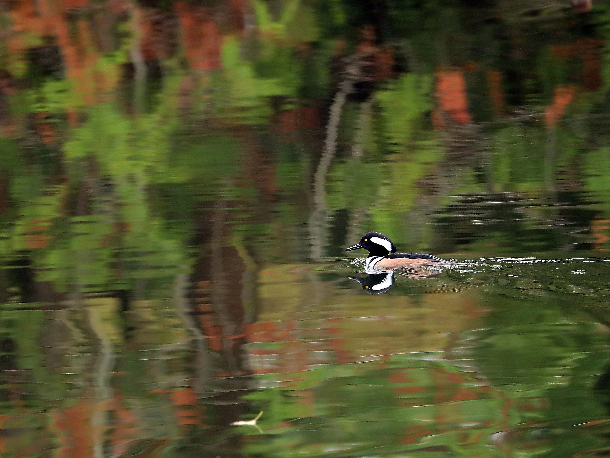 A hooded merganser paddles through the reflective waters of the Seabeck Conference Center lagoon in Seabeck, Washington on Thursday, November 8, 2018.