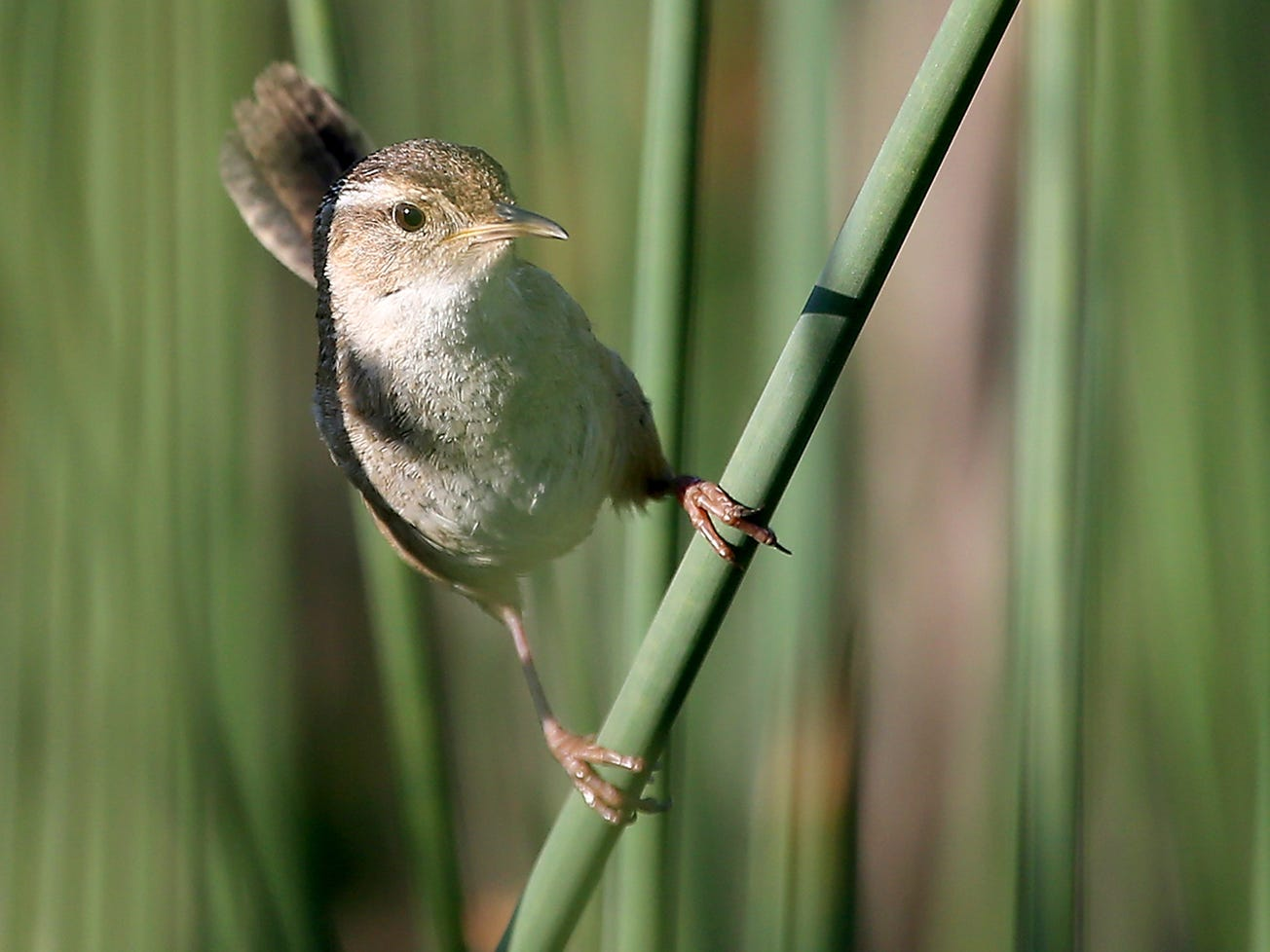 A marsh wren clings to the reeds at Theler Wetlands in Belfair, Washington on Saturday, June 2, 2018.