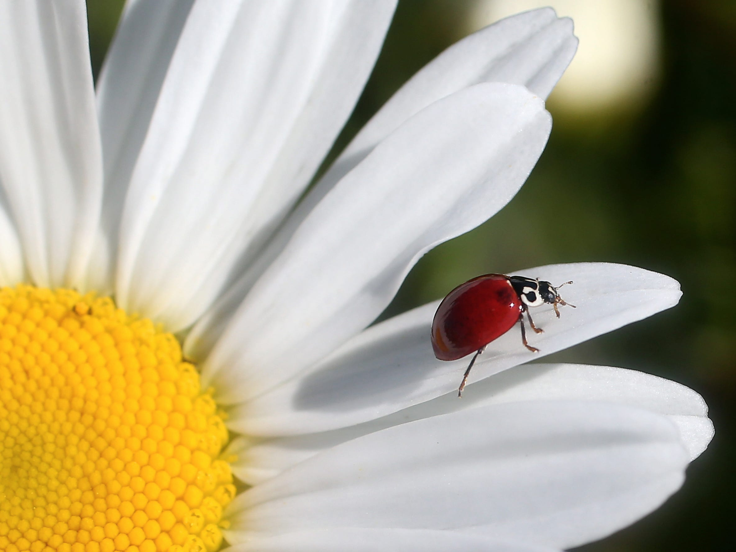 A lady beetle walks out to the the end of a daisy petal in search of aphids in Bremerton's Blueberry Park on Tuesday, May 22, 2018.