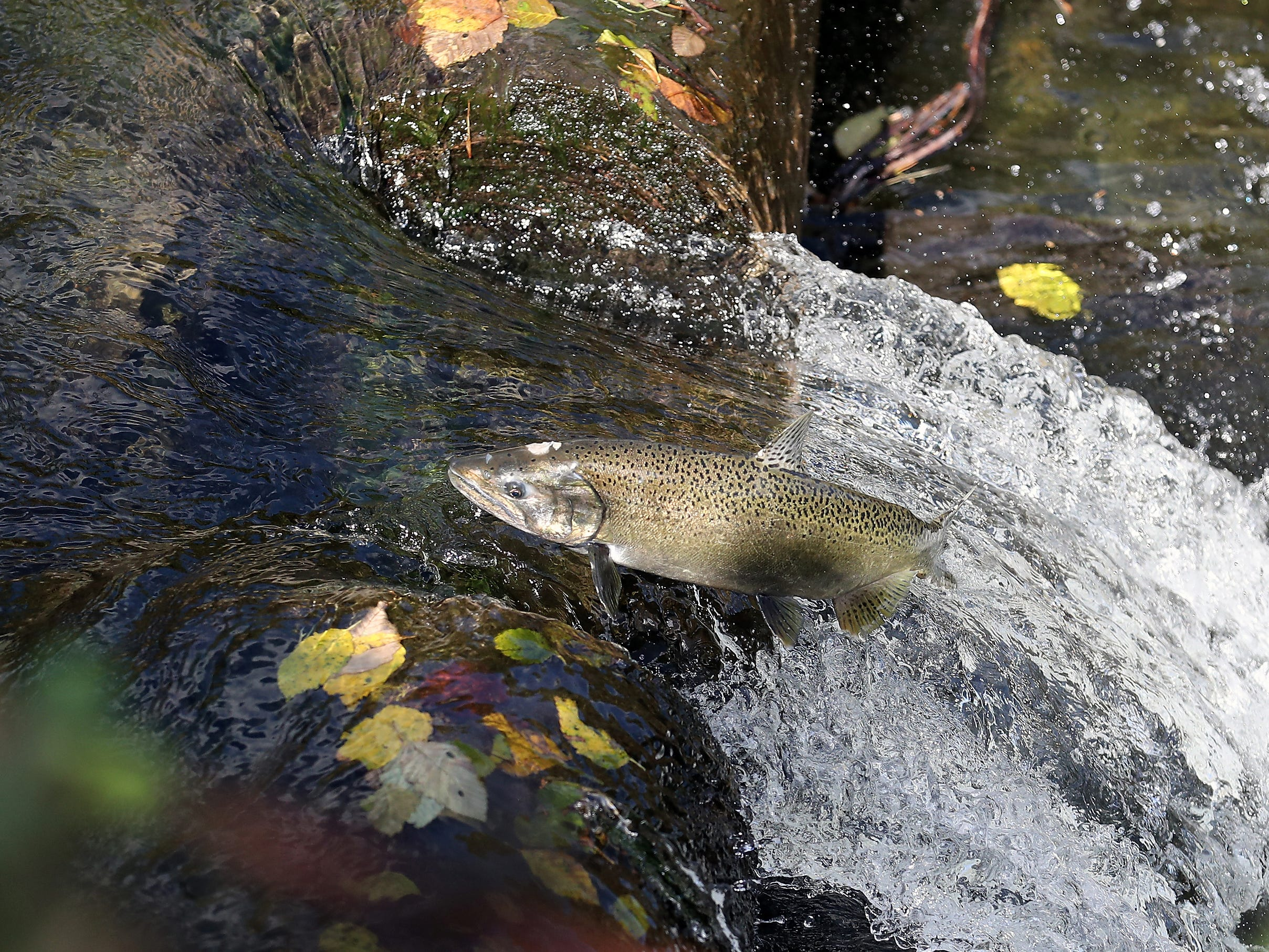 A female chinook jumps the falling water and succeeds in making it up the weir behind the Gorst Creek Hatchery in Gorst , Washington on Monday, September 24, 2018. Volunteers spent Monday afternoon sandbagging parts of the creek to get the water level high enough at this particular weir because the salmon were having too hard of a time clearing it to spawn up stream.