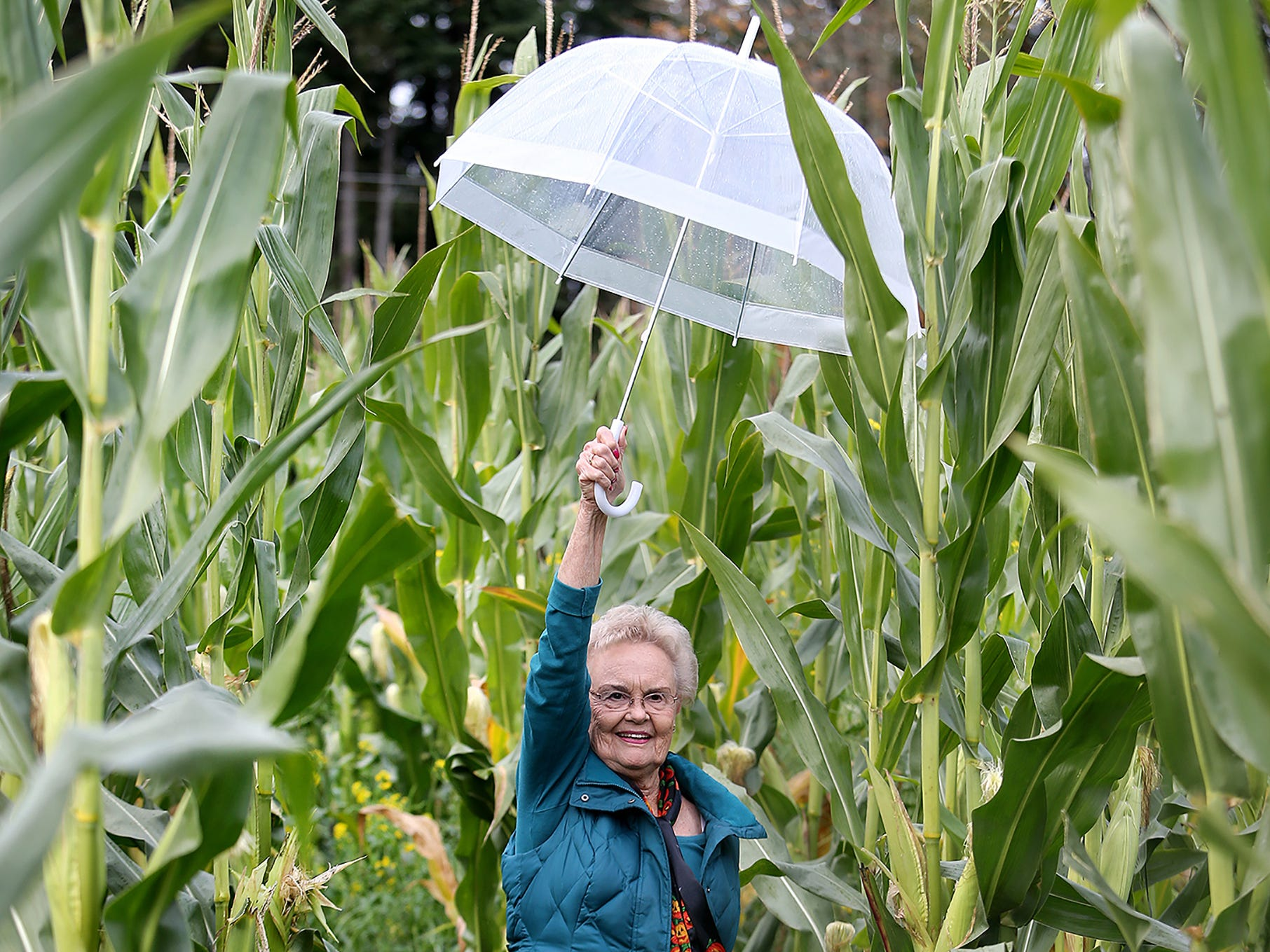 Carol Hostetter of Bremerton puts her umbrella up high to get through the corn stalks in the corn maze at Pheasant Fields Farms in Silverdale on Monday, October, 29, 2018. The maze is open daily from 10 a.m. until 6 p.m. until November first.