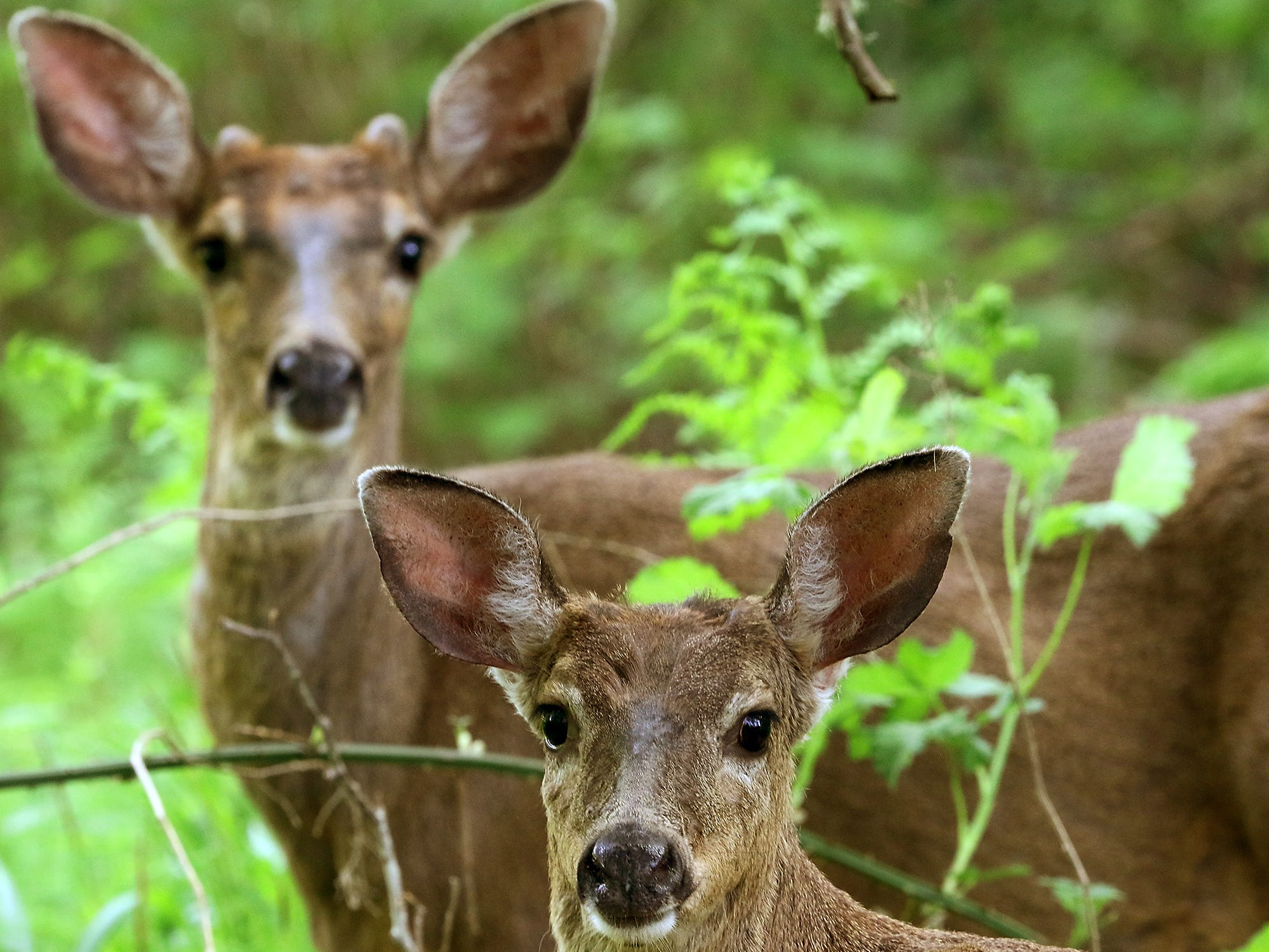 A pair of black-tailed deer pause as they make their way through the underbrush near Brownsville, Washington on Saturday, May 5, 2018