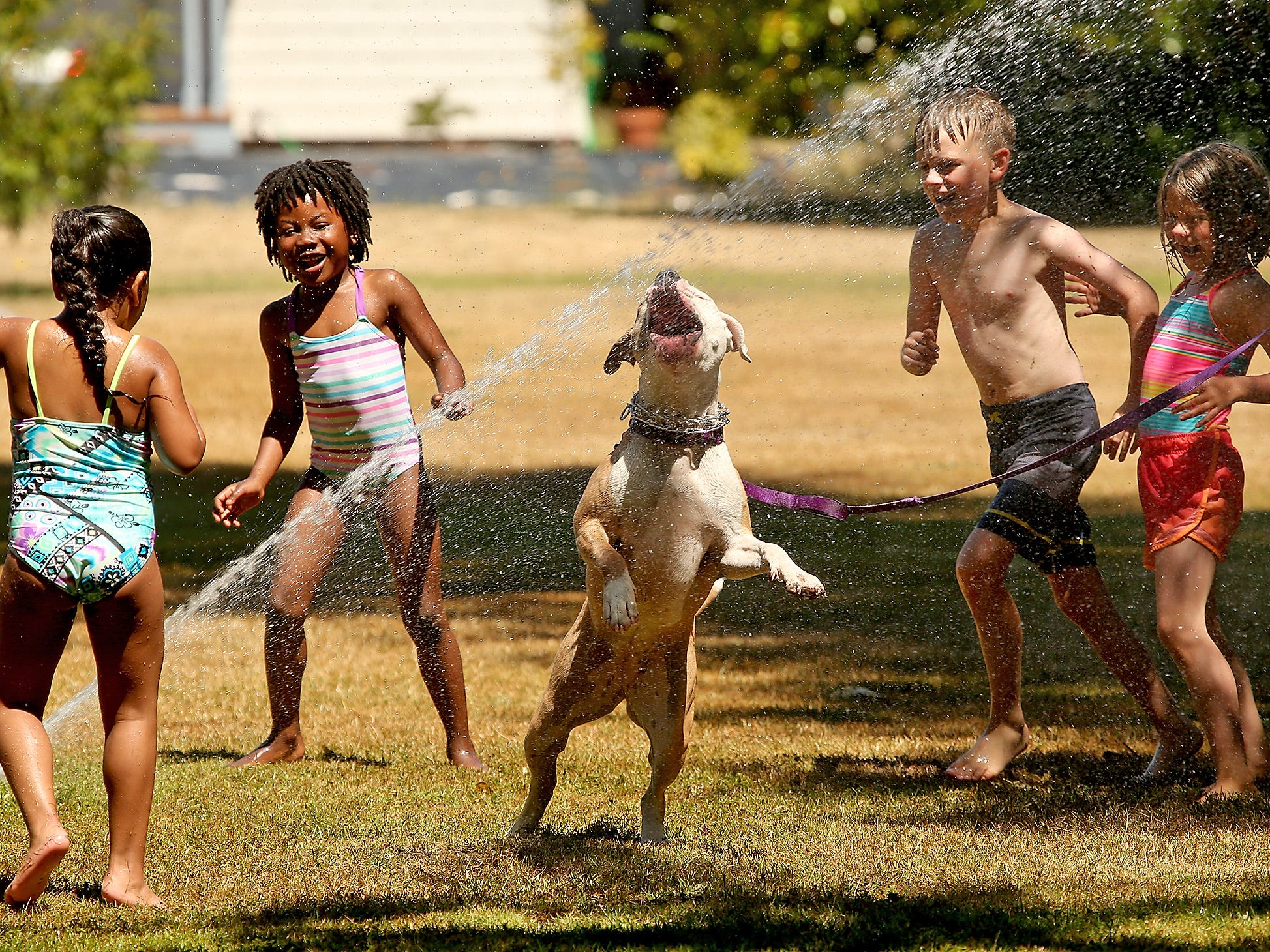 Enjoying the cool sprinklers on a hot day (left to right) Zurina Pierce, 4, Rosie Clement, 6, Liam Clement, 10, and Eva Clement, 7, laugh as Sarah Tabor's dog Sabrina joins them in running through the sprinklers at Evergreen Rotary Park in Bremerton Washington on Thursday, July 12, 2018. The Bremerton Parks Department turned on the sprinklers for kids to run through on the hot today because the Harborside Fountain Park was closed for a film shoot.