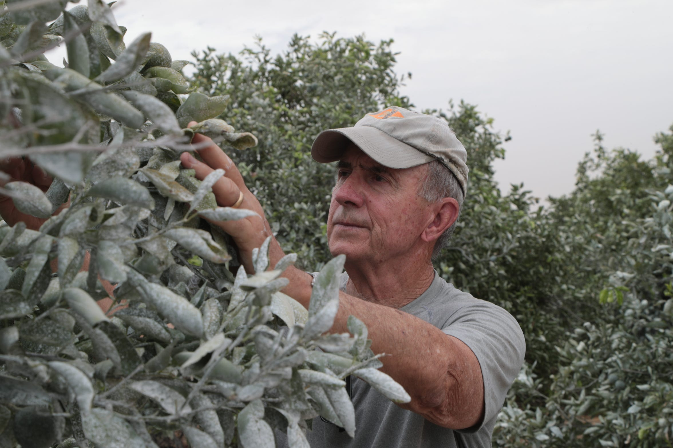 Jim Seley examines a citrus tree at his orchard in Borrego Springs.