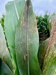 Tar spot fungus intensified in Wisconsin corn in 2017. Hot spots in Southwest Wisconsin saw as much as a 20 percent drop in yields in 2018