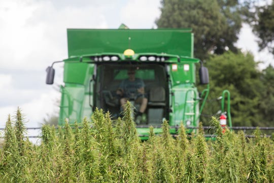 FILE - In this Aug. 16, 2017 file photo, a Calloway, Ky., County farmer, harvests hemp at Murray State University's West Farm in Murray, Ky.