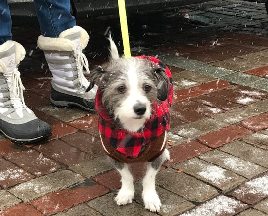Lucky, a Vermont dog, sports a classic hunting jacket on Church Street, Dec. 24, 2018.