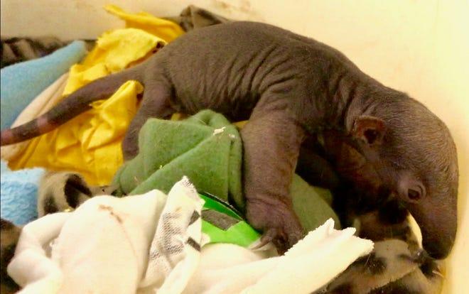 New tamandua pup, born Dec. 20, explores its new home at the Cincinnati Zoo and Botanical Gardens.