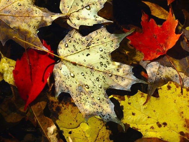 """Jim Amon, """"Maple Leaves in the Stony Brook,"""" photograph"""